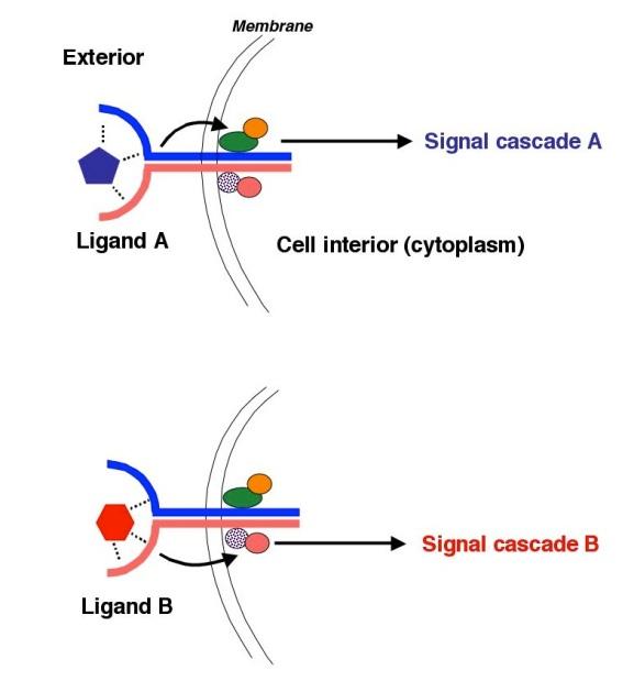 Fig2-ReceptorParsimony1